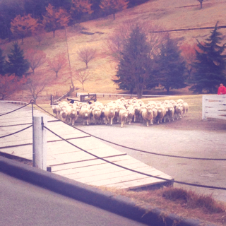 羊の群れ2