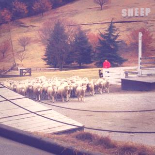 羊の群れ3