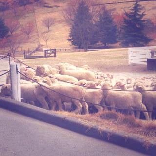 羊の群れ5